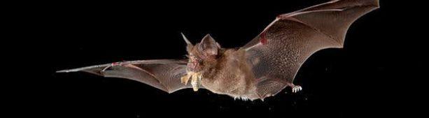 Как летучие мыши живут с таким количеством вирусов?
